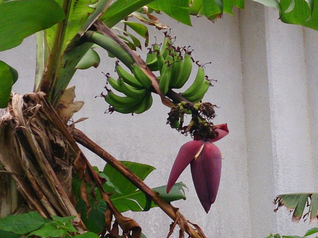 島バナナの花